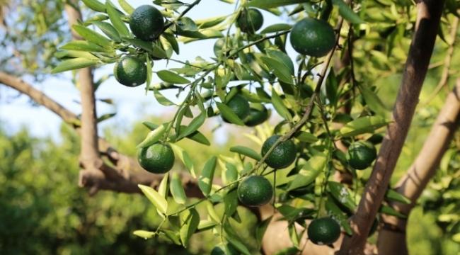 Mandalina bahçeleri eko turizme kazandırılacak