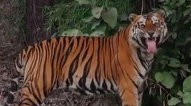 Hindistan kaplan koruma alanlarını turizme kapattı
